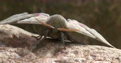 Modest Sphinx Moth, ZI to CU Face