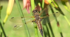 Four-spotted Skimmer Dragonfly Resting on Green Stem, Watching For Passing Prey, Hunting