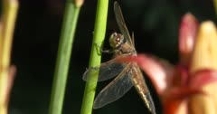 Four-spotted Skimmer Dragonfly Resting on Green Stem, Hunting, Looks AC Upside Down
