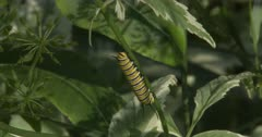 Monarch Butterfly Larva, Caterpillar, Resting in Early Morning