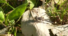 Dot-tailed Whiteface Dragonfly, Eating Mosquito
