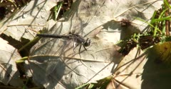Dot-tailed Whiteface Dragonfly, Resting on Leaf, Hunting