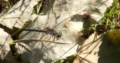 Dot-tailed Whiteface Dragonfly, Hunting, Exits, Returns Chewing Prey