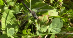Dot-tailed Whiteface Dragonfly, Resting on Greenery, Hunting