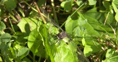 Dot-tailed Whiteface Dragonfly, Hunting, Perched Sideways, Looking for Prey