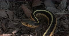 Eastern Garter Snake, Coiled, Watching