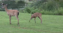 White-tailed Deer, Fawn Playing, Bucking Backwards, Doe Feeding, Watching