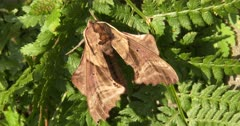 Sphinx Moth Resting On Fern Leaf, Day Lighting