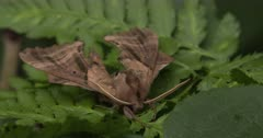 Sphinx Moth Resting On Fern Leaf, Sleeping