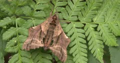 Sphinx Moth Resting On Fern Leaf, Clinging With Front Legs
