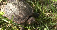 Juvenile Snapping Turtle, Moving Eyes