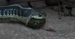 Eastern Garter Snake Moving Mouth Over Partially Swallowed Green Frog