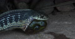Eastern Garter Snake Feeding on Green Frog, Drags Frog Backwards, Partially Swallowed