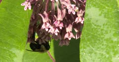 Bumble Bee Feeding On Milkweed Flowers