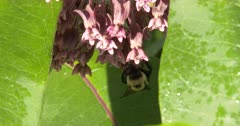 Bumble Bee Feeding On Milkweed Flowers, Exits, Returns