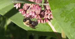 Bumble Bee Feeding, Milkweed Flowers Partially Open, Bee Exits