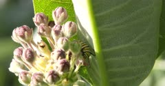 Monarch Butterfly Caterpillar Feeding on Milkweed Flower