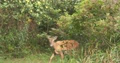 White-tailed Deer, Doe Feeding, Startles, Jumps, Exits