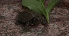 Newly Hatched Painted Turtle, Resting on Rock