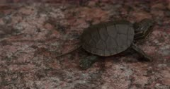 Newly Hatched Painted Turtle, Turns, Exiting