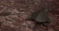 Newly Hatched Painted Turtle, Exiting Rear