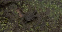 Newly Hatched Painted Turtle, Walking Through Mud At Edge of Pond