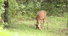 White-tailed Deer, Fawn Feeding on Apples, Rolling Apple on Ground