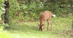 White-tailed Deer, Fawn Feeding on Apples