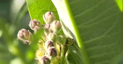 Monarch Butterfly Caterpillar, Feeding on Milkweed Flower