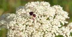 Wild Carrot, CU Of Flowers With Red Center