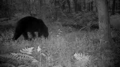 American Black Bear at Night, Walking
