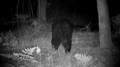 Large American Black Bear at Night, Walking Past