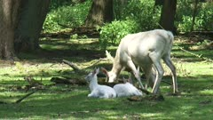 White Leucistic Red Deer hind (cervus elaphus) at forest edge, calves lying in shade.  These deer have a condition known as leucism that causes its hair and skin to lose its natural colour.