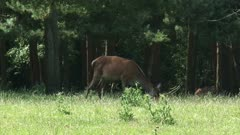 Red Deer (cervus elaphus) hind with calf in shadow at forest edge - on camera - alert