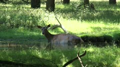 Red Deer hind wallowing in pool to protect the skin from the sun and to get rid of insects - wide shot.
