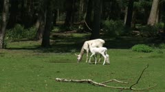 Leucistic white Red Deer (cervus elaphus) hind with calf at forest edge. This white deer is a red deer with a condition known as leucism that causes its hair and skin to lose its natural colour.