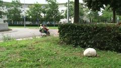 Giant puffball, Calvatia gigantea, growing in urban field