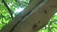 tilt up Cracks in the bark of Horse Chestnut (Aesculus hippocastanum), affected with bleeding canker disease.