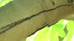 tilt down Cracks in the bark of Horse Chestnut (Aesculus hippocastanum), affected with bleeding canker disease.