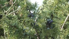 Juniper berries on a branch in summer breeze. A juniper berry is the female seed cone produced by the various species of junipers.