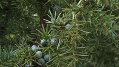 Juniper berries on a branch - close up