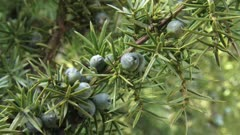 Juniper berries on a branch - close up. A juniper berry is the female seed cone produced by the various species of junipers.