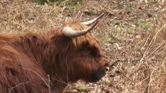 Scottish highland cattle, ruminant cow in forest - close up. Since the 1980s, Highland cattle is used for natural grazing in Dutch Nature reserves.