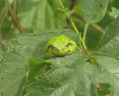 Common tree frog (Hyla arborea) or european tree frog, sunbathing on a bramble leaf . Tree frogs are mostly active in early evening and night.