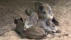 European Wild Boar family (sus scrofa) laying in nest close together to keep warm. Females and their offspring live in groups called sounders.