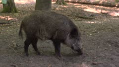 European Wild Boar (sus scrofa) rooting in forest, looking for worms and grubs. Wild boar are omnivorous scavengers, eating almost anything they come across.