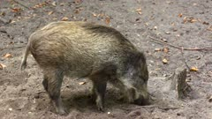 European Wild Boar (sus scrofa) juvenile rooting in forest - side view. Wild boar are omnivorous scavengers, eating almost anything they come across.