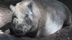 Wild Boar (sus scrofa) laying down on the ground in mud and sand - on camera. A pig in the mud is a happy pig.