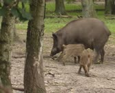 Wild Boar (sus scrofa) sow with piglets - weaning behavior. Wild boar are omnivorous scavengers, eating almost anything they come across.