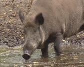 Wild Boar (sus scrofa) rooting in mud and waterside.